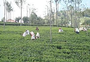 ニルギリ紅茶茶園風景|紅茶通販専門店 いい紅茶ドットコム