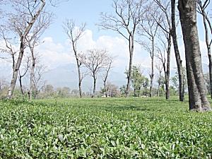 天空の紅茶茶園風景| 紅茶通販専門店 いい紅茶ドットコム